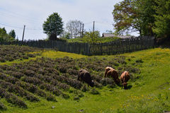 Tea and cattle. Cows feeding within the tea bushes Stock Photos