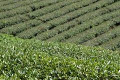 Tea in Cau Dat farm, Dalat, Vietnam. Cau Dat tea Planation in Dalat - Attraction in Dalat, Vietnam Royalty Free Stock Image