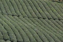 Tea in Cau Dat farm, Dalat, Vietnam. Cau Dat tea Planation in Dalat - Attraction in Dalat, Vietnam Royalty Free Stock Photos