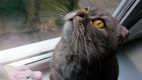 Tea-coloured eyes cat. Cat watching the birds Stock Photos