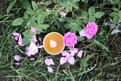 Tea in country style in summer garden in the village. Vintafe cup of green herbal tea on weathered wooden boards and blooming pink. Tea in country style in stock image