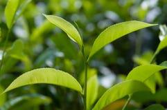 Tea Crop Stock Photography