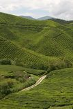 Tea Crops Stock Images