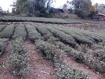 Tea crops in Taiwan. January 2019 stock image