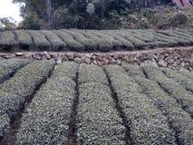 Tea crops in Taiwan. January 2019 stock photos