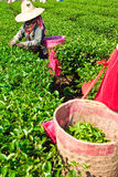 Tea Cultivating In North Of Thailand Royalty Free Stock Photo