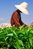 Tea cultivating in north of Thailand Royalty Free Stock Photos