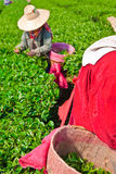 Tea cultivating in north of Thailand Royalty Free Stock Photography
