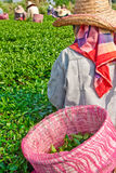 Tea cultivating in north of Thailand Stock Photo