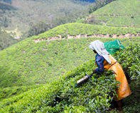 Tea cultivation Royalty Free Stock Image