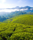 Tea cultivation Royalty Free Stock Images