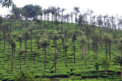 Tea cultivation Stock Images