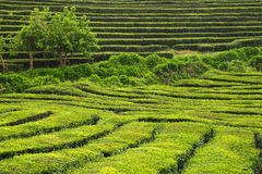 Tea cultivation, Azores Islands, Portugal Stock Images