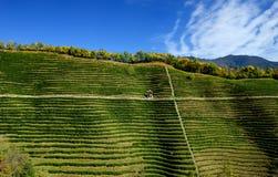 Tea cultivation Stock Photos