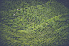 Tea cultivation. Tea harvesting in the green hills of the Malaysian Cameron highlands Stock Photos