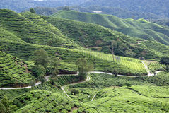 Tea cultivation in Malaysia Stock Image
