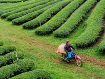 Tea cultivation in Thailand Royalty Free Stock Image