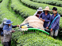 Tea cultivation in Thailand 3 Royalty Free Stock Image