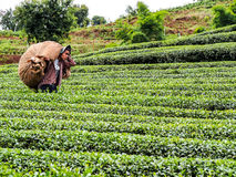 Tea cultivation in Thailand 4 Royalty Free Stock Photography