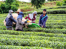 Tea cultivation in Thailand 5 Stock Photo