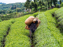 Tea cultivation in Thailand 6 Royalty Free Stock Photo