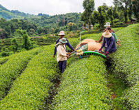 Tea cultivation in Thailand 7 Stock Photo