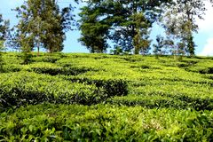 Tea cultivation at Thekkady stock photo