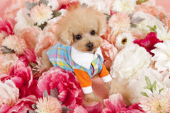 Tea cup poodle. A tea cup poodle dressed in fashionable clothes surrounded by chrimson and pink flowers,a summer season feel Royalty Free Stock Images