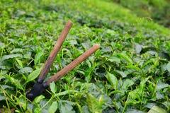 Tea cutting scissors over a bush on tea plantation Royalty Free Stock Photos