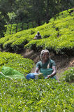 Tea estate Stock Photography