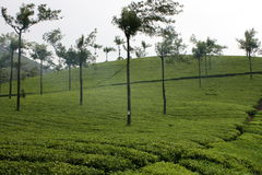 Tea Estate Royalty Free Stock Photography