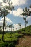 Tea estate. Of Kerala western ghat Royalty Free Stock Images