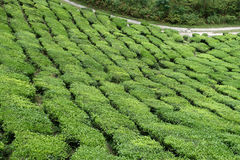 Tea Estate Royalty Free Stock Photo