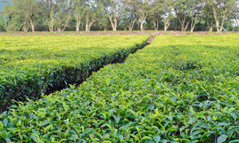 Tea estate in Africa Royalty Free Stock Photography