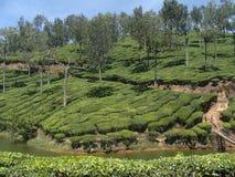 A Tea Estate Stock Images