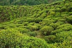 Tea estate in Darjeeling Royalty Free Stock Photos