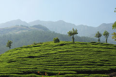 Tea Estate of Kerala Stock Image