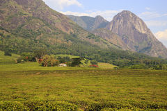 Tea Estate - Mulanje Massif. The Mulanje Massif, also known as Mount Mulanje, is a large monadnock in southern Malawi only 65 km east of Blantyre, rising sharply stock photo