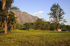 Tea Estate - Mulanje Massif. The Mulanje Massif, also known as Mount Mulanje, is a large monadnock in southern Malawi only 65 km east of Blantyre, rising sharply royalty free stock image