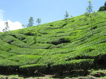 Tea estate Stock Photos