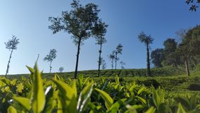 Tea Estate at ooty stock photos