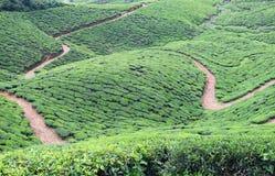 Tea Estate with Raw Tracks inside over Hills near Munnar, Kerala, India Stock Photo