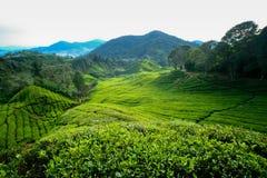 tea för cameron höglandkoloni Arkivfoto