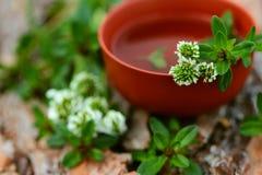 tea för glass växt- för horsetail för fokus för arvensekoppequisetum selektiv naturmedicin för avkok Arkivfoto