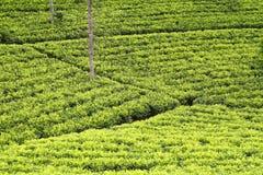 tea för lankakolonisri Arkivfoto