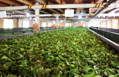 Tea factory. Drying tea in Tea factory in Sri Lanka Royalty Free Stock Photo