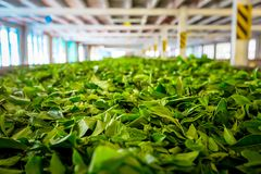 Tea Factory, Sri Lanka. Stock Photography