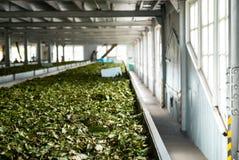 Tea factory Sri Lanka dried tea leaves stock photo
