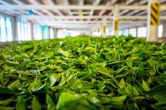 Tea factory, Sri Lanka. Fresh tea leafs before drying. Tea factory, Sri Lanka stock photography