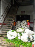 Tea factory worker royalty free stock photography